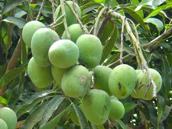 Chandrakan Mangoes