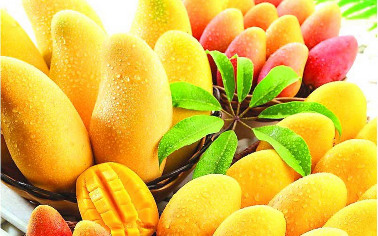 mango season By ernie rezents for the maui news— mango is enjoyed by many people but is grown only in tropical and subtropical climates world wide india alone has about 500 different types and is this fruit's major exporter.